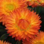 Õlelill Mohave Orange