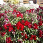 Madal lõvilõug punane