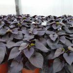 Ipomea, must Ipomoea batatas Ornamental