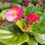 Alatiõitsev begoonia, roosa