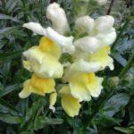Madal lõvilõug kollane