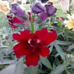 Täidisõieline lõvilõug punane