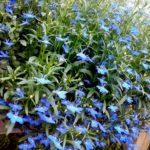Ripplobeelia sinine