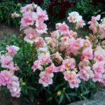 Täidisõieline lõvilõug roosa