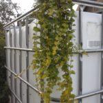 Roomav metsvits, Lysimachia nummularia Kasutatakse üldjuhul lehtdekoratiivina erinevates istutustes. Õied kollased. On püsik