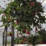 Amplimaasikas Fragaria ×ananassa  Punaseõieline. Kasvab hästi niiamplis, kui lillepeenras. On väga dekoratiivne ja maitsvate marjadega