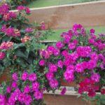 Aed- puispetuunia, roosa, täidisõis. Rippuva kasvukujuga