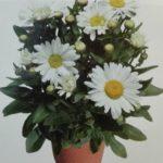 Suur Härjasilm Sweet Daisy  Leucanthemum maximum Kõrgus 40 cm