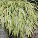 Ainuroog Aureola,  Hakonechloa macra Üsna aeglase kasvuga. Helerohelise- kollasetriibuliste lehtedega. Kasvab nii põikselisemas, kui poolvarjulises kohas. Parasniiske, viljakas muld