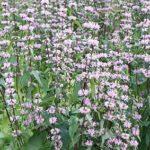 Mugul- tuliürt, Phlomis tuberosa Soovib päikeselisemat,kuivemat kohta. Kasvab erinevatel muldadel. Õied tulevad nn korrustena. Üsna dekoratiivne jääb ka talvel.