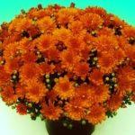 Krüsanteem, oranž, madal