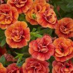 Aed-puispetuunia, oranž täidisõieline. Rippuva kasvukujuga