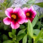 Calibrachoa Aloha Soft Pink.  Amplisse, rõdukasti, konteinerisse. Rippuva kasvukujuga
