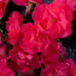 Roosbegoonia, rippuv