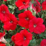 Petunia hybrida  Sobib amplisse, rõdukasti.