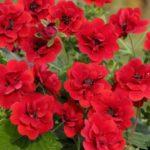 Maran Scarlet Dreams Hallikasroheliste lehtedega. Kõrgus 50-60 cm. Kasvab hästi päikeselises ja ka poolvarjulises kohas