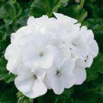 Pelargoon Savannah White. Madalama, kompaktse kujuga. Ilusa puhasvalge õiega. Lihtne kasvatada. Sobib hästi konteinerisse teiste taimedega Ei ripu