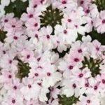 Verbena Soft Pink